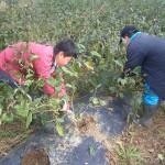 農作業手伝い(三アファーム)