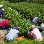 カシスの収穫(小山農園)